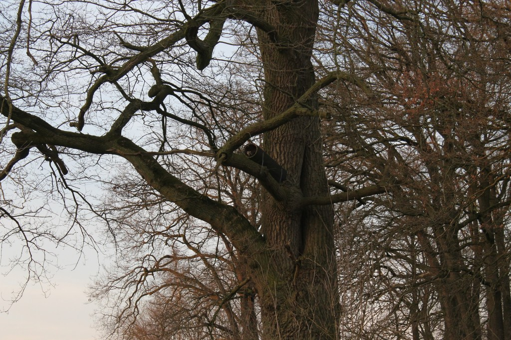 in der alten Eiche wohnt ein Steinkauz (das Rohr ist eine Bruthilfe, die der NABU bei uns angebracht hat- mit Erfolg)