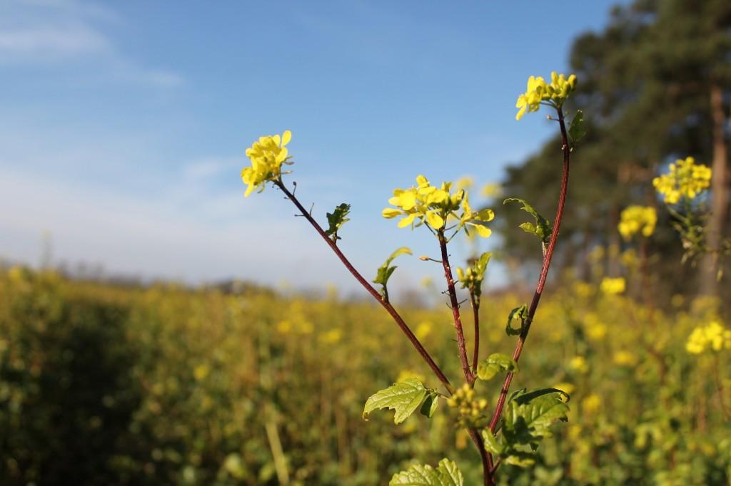 der mediterrane Winter macht es möglich: Der Senf blüht im März!