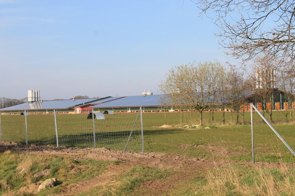 Frei laufende Hühner in der Nachbarschaft. Hier werden 60000 Legehennen gehalten und nebenbei noch Sonnenstrom produziert.
