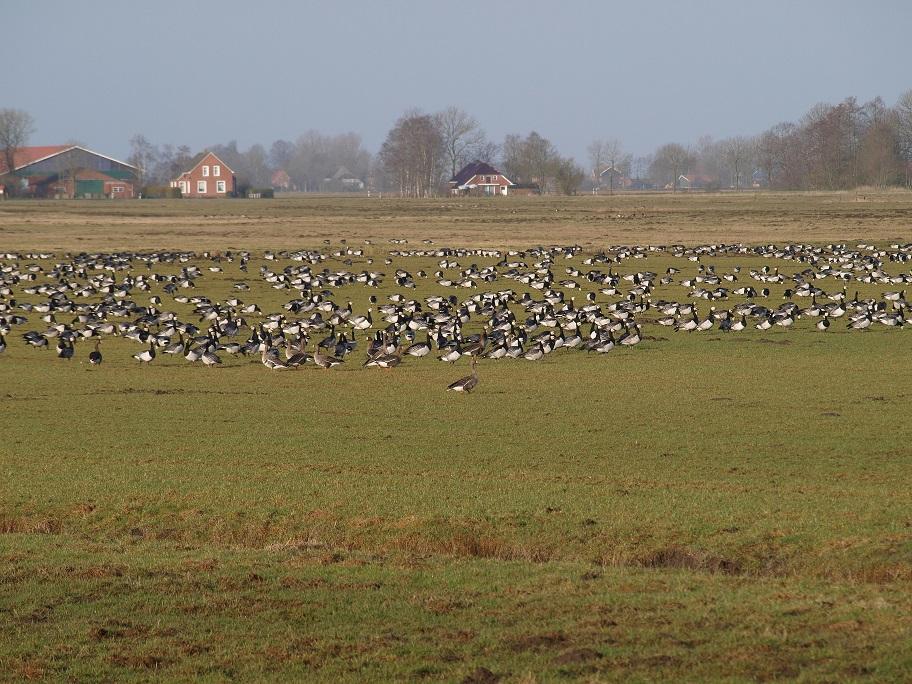 Gänse machen sich auf den Wiesen und Weiden im Rheiderland breit und werden zum Problem