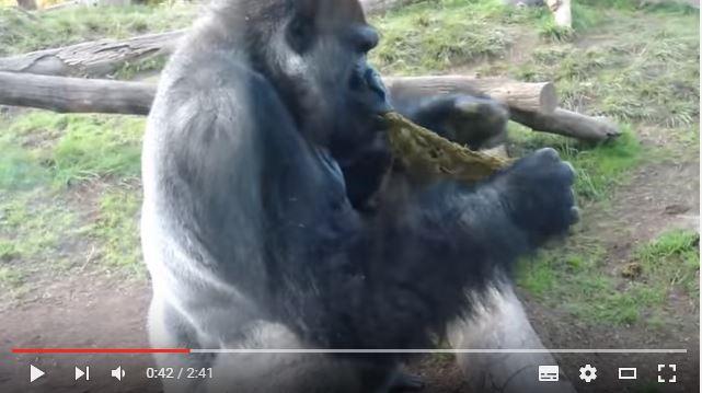 Essen wie ein Gorilla