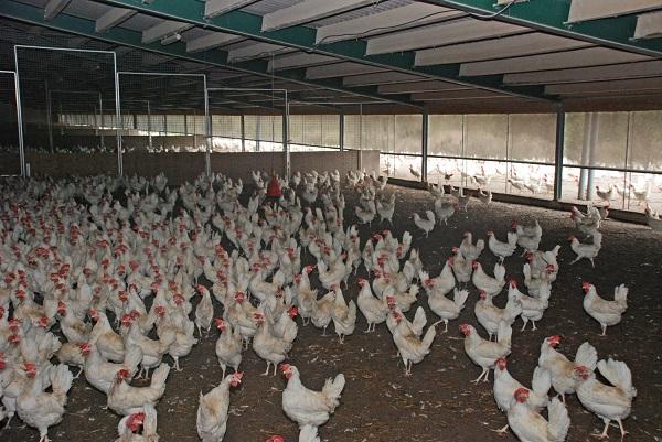 In der Bodenhaltung fühlen sich die Hennen sichtlich wohl