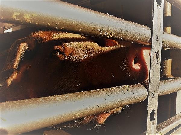 Ein Schwein schaut aus dem Viehtransporter nach draussen