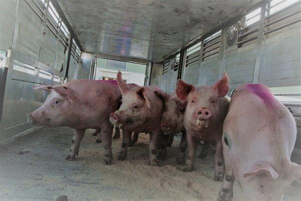 Schweine, die gerade stressfrei auf den Viehtransporter getrieben wurden. Sie machen einen entspannten Eindruck