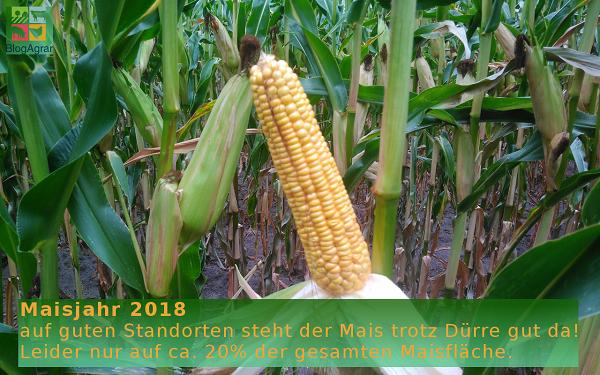 Maisjahr 2018 auf guten Standorten steht der Mais trotz Dürre gut da! Leider nur auf ca. 20% der gesamten Maisfläche.