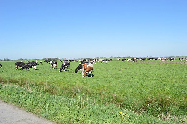 Kühe grasen auf Weide