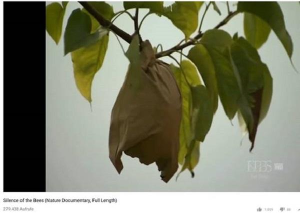 Jede Birne wird am Baum in eine Wachspapiertüte gesteckt, die Insekten abhalten soll.