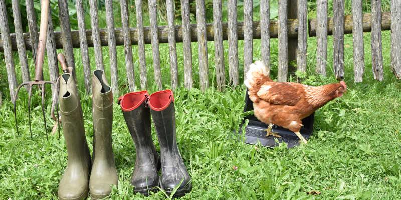 Laptop steht neben Stiefeln im Gras, ein Huhn läuft darüber her.