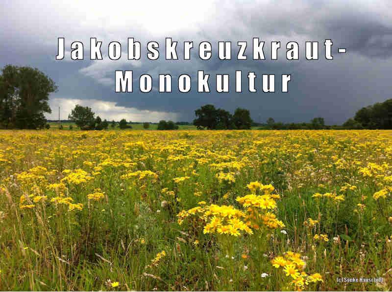 Monokultur aus Jakobskreuzkraut im Naturschutzgebiet